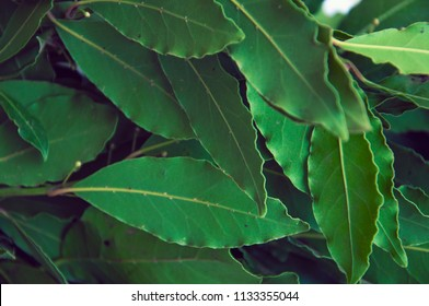 Green and fresh bay leaf. The Bay leaf is a popular seasoning in cooking and a means of folk medicine. Сlose-up.