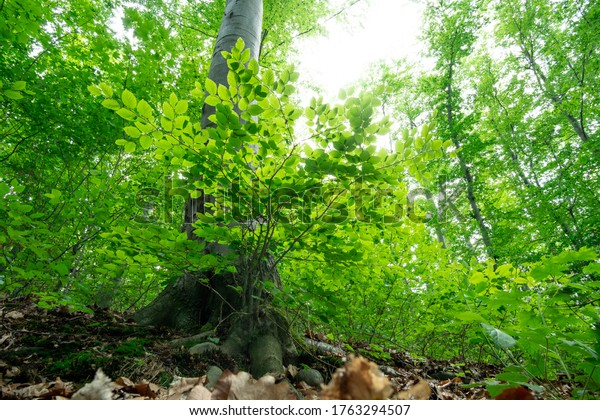Green fresh beech forest. Perspective from the root to the tree top
