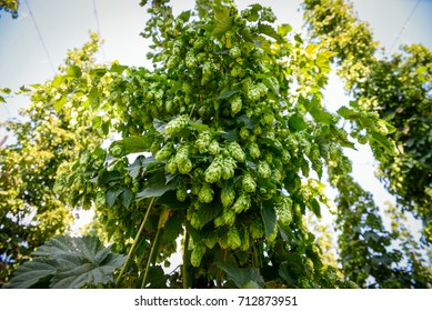 Green fresh cones of hops on the field