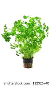 Green fresh curly parsley