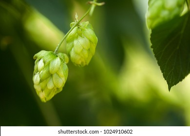 Green fresh hop cones for making beer and bread closeup, agricultural background.
