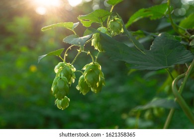 Green fresh hop cones for making beer and bread in backlight closeup