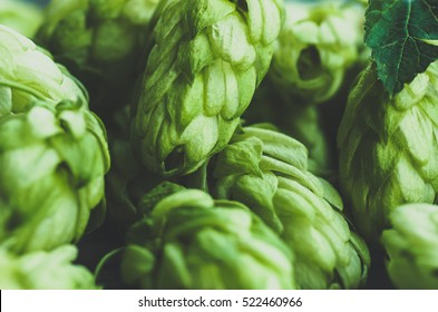 Green fresh hop cones for making beer and bread closeup , blue toned, agricultural background