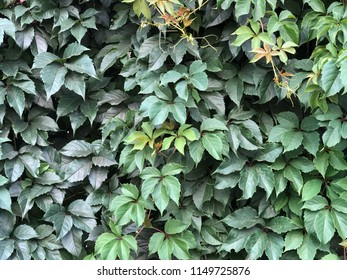 green fresh ivy plant covered wall