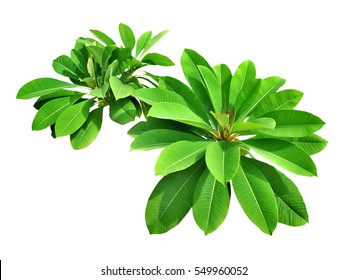 Green fresh leaf isolated white background, verdant branches brown wood plant. Frangipani woody garden in sunshine, Plumeria temple forest, West Indian Jasmine and Pagoda tree.