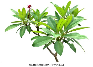 Green fresh leaf red flower isolated white background, verdant branches brown wood plant. Frangipani woody garden in sunshine, Plumeria temple forest, West Indian Jasmine and Pagoda tree.