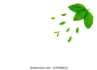 Green fresh leaves background make from the holy basil leaves. Leaves herb great for healthy and make a food.