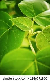 Green fresh leaves background througth the light.