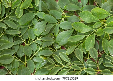 Green and fresh leaves of organic moringa - Moringa oleifera
