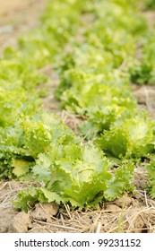 green fresh lettuce - green lettuce - organic