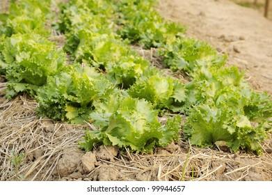 green fresh lettuce - green lettuce - organic farm