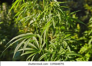 Green fresh marijuana leaves pattern