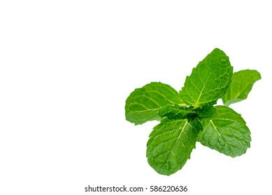 Green fresh mint  isolated on white background.