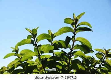 Green fresh mint (mentha) herb growing outside. Mint leaves on light background with copy space