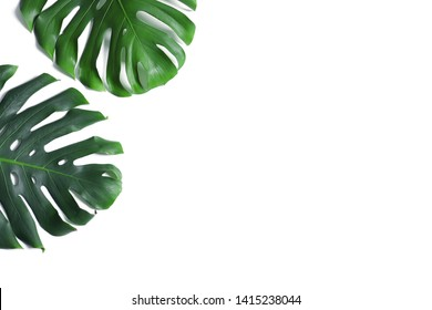 Green fresh monstera leaves on white background, top view. Tropical plant