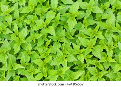 Green fresh nettle background. Stinging nettle concept design.