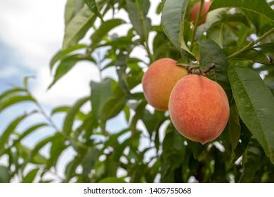 Green fresh peach tree in nature