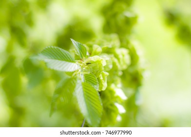 Green fresh spring leaves. With out of focus background. With juicy green colors.