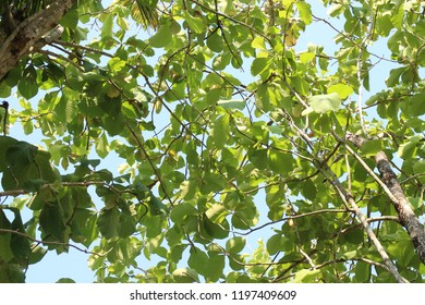 Green and fresh teak wood with clear blue sky. It's a view of the top through tree trunks with leaves