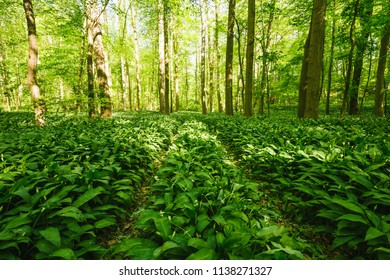 Green Fresh Wild Garlic Forest