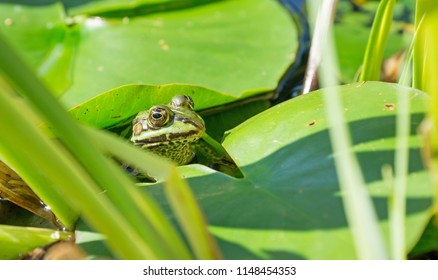 A green frog between leaves in a garden pond
