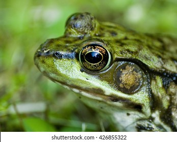 Green Frog up close in the grass, reflection in his eye of the sky. Lithobates clamitans