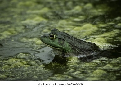 A green frog in a dirty pond