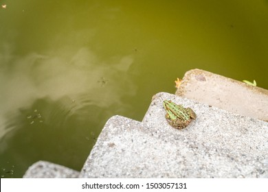 Green frog enjoying nice summer day on concrete stairs to green water pond