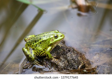 Green frog at the forest pond
