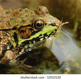 green frog (genus Rana Clamitans) with insect in its mouth