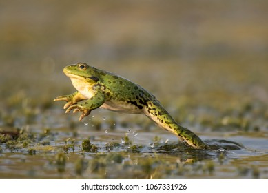 Green frog jump on a beautiful light. Pelophylax ridibundus