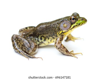 Green Frog (Lithobates clamitans) isolated on a white background