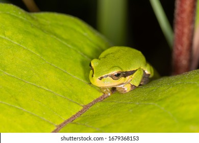 Green frog on leaf. A frog hides in a plant