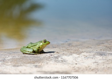 Green frog on the sand. Closeup side view