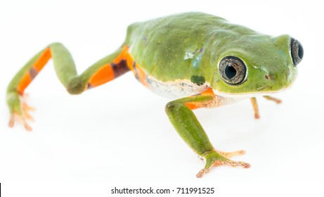 Green frog on white background