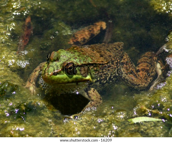 a green frog peeking his head out from under a swampy marsh