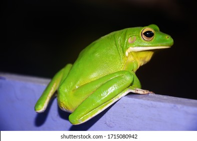Green Frog (Rana macrodon) has a skin surface that is always wet and not scaly, with eyelid eyes. Skeleton is mostly hard bone, have a body temperature that depends on their surroundings