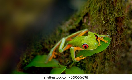 Green frog with red eyes sits on a tree leaf in the tropics