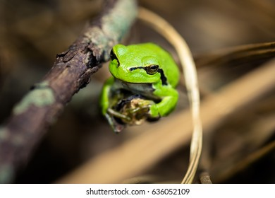 Green frog resting on straw