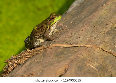 A green frog rests on a log basking in the afternoon sun. Also known as an American Common Frog. Todmorden Mills Park, Toronto, Ontario, Canada.
