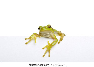 Green frog showing signboard, with blank copyspace area for slogan, advertisiment or text message, over white background.