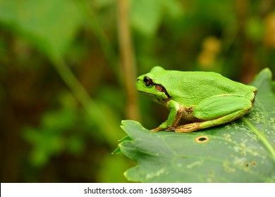 A green frog sits on a leaf. Amphibian in profile. Far Eastern tree frog or East Siberian tree frog (lat. Hyla japonica) is an amphibian of the tree frog family. Macro. Closeup.
