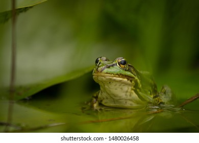 A green frog sitting half submerged in a water surrounded by green background created by green leaves.