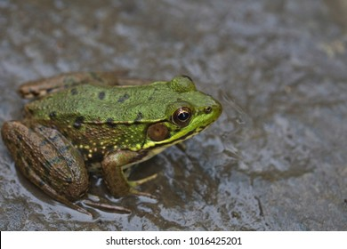 Green frog sitting on a rock