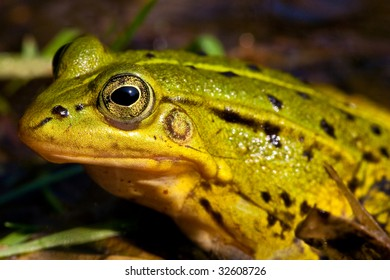 Green frog sitting in shallow water in closeup
