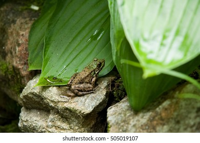 Green frog sunbathing on rock