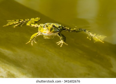 Green frog swimming in the water of a pond