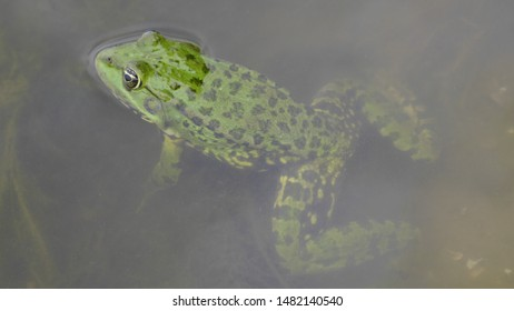 A green frog that peeps out of the water. Frog Peeps out of the pond