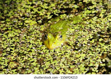 Green frog in water covered with duckweed