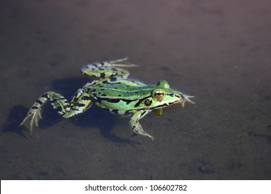 Green frog in water. Edible green frog (Rana esculenta), is a medium-thick-set tailless animals, up to 12 cm in length, but usually smaller.  Edible green frog in the shallow water of lake.